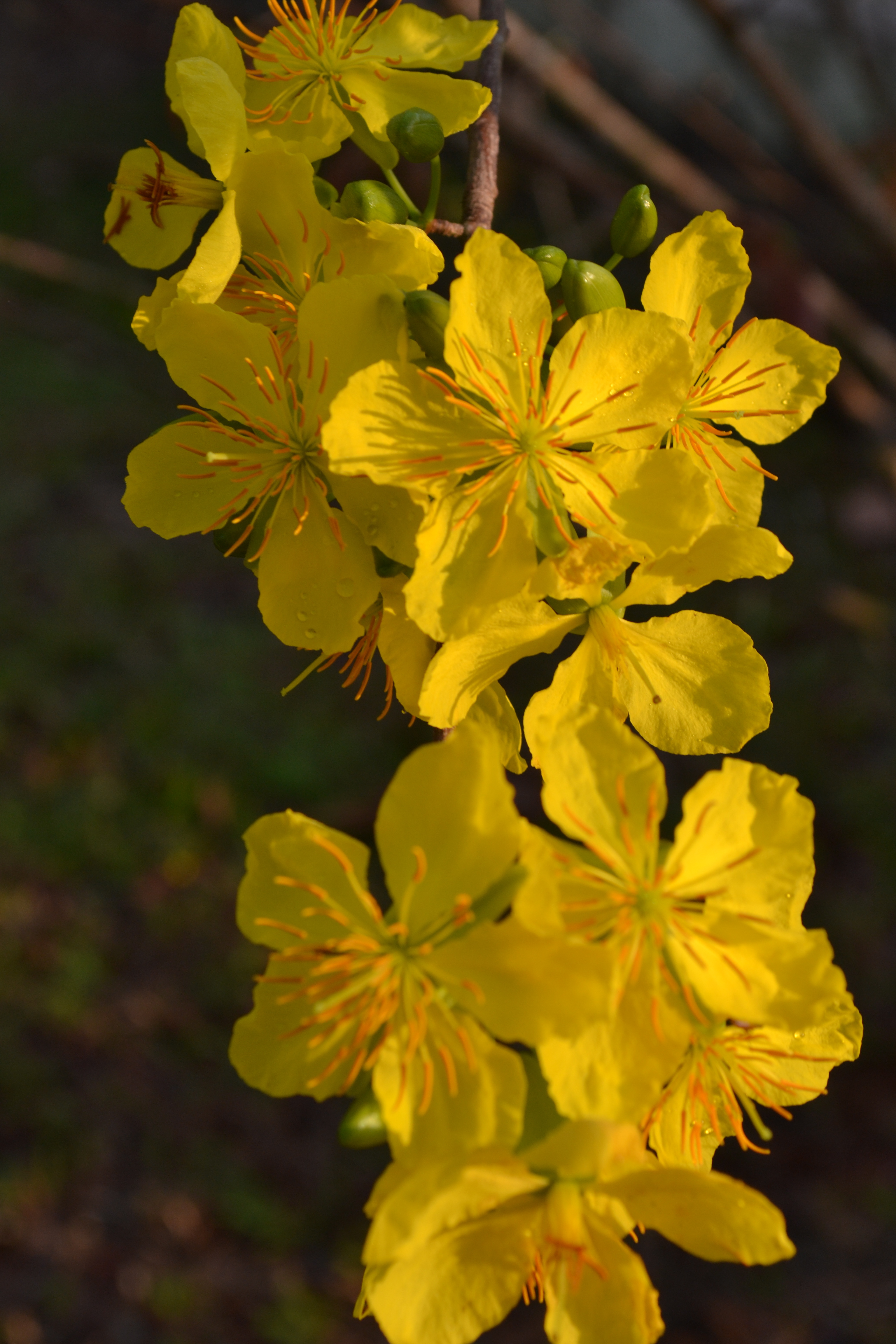 Hoa Mai fleurs nouvel an vietnamien